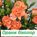 Гвоздика Ліліпот F1 (колір на вибір) 50 шт., фото 4