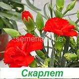 Гвоздика Ліліпот F1 (колір на вибір) 50 шт., фото 5