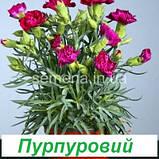Гвоздика Ліліпот F1 (колір на вибір) 50 шт., фото 6