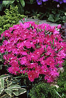 Гвоздика Супра F1 пурпурная (100гранул) Садыба Центр