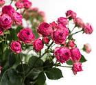 Саженцы розы - спрей Кенди (Candy), фото 2