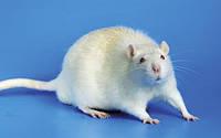 Мыши: самые симпатичные грызуны