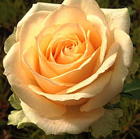 Роза чайно-гибридная Пич Аваланш (Peach Avalanche)