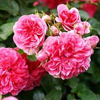 Спрей - роза  Пинк Свани Pink Swany
