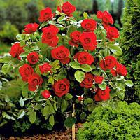 Штамбовая Троянда Кардула.