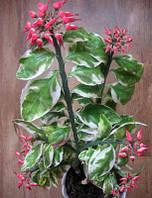 Комнатное растение Педилантус Титималоидный вариегатный h=20 см.