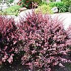 Барбарис Тунберга Роуз Глоу (Berberis thunbergii Rose Glow), фото 2