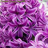 Гиацинт Purple Sensation (Фиолетовая Сенсация) 15/16, фото 4