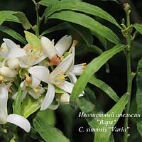"""Апельсин Иволистный """"Варя"""" (C. sinensis """"Varia"""") до 20 см Комнатный."""