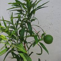 """Апельсин Иволистный """"Варя"""" (C. sinensis """"Varia"""") 20-25 см Комнатный."""