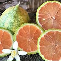 """Лимон розовый вариегатный """"Сангвинеум"""" (C.limon """"Foliis variegatis Sanguineum"""") 20-25 см. Комнатный, фото 1"""