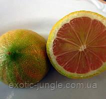 """Лимон розовый вариегатный """"Сангвинеум"""" (C.limon """"Foliis variegatis Sanguineum"""") 20-25 см. Комнатный"""