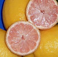 """Лимон розовый """"Сангвинеум"""" (C.limon """"Sanguineum"""") 20-25 см. Комнатный, фото 1"""