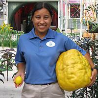 "Лимон ""Найн Паундер"" (C. limon ""Nine Pounder"") до 20 см. Комнатный"