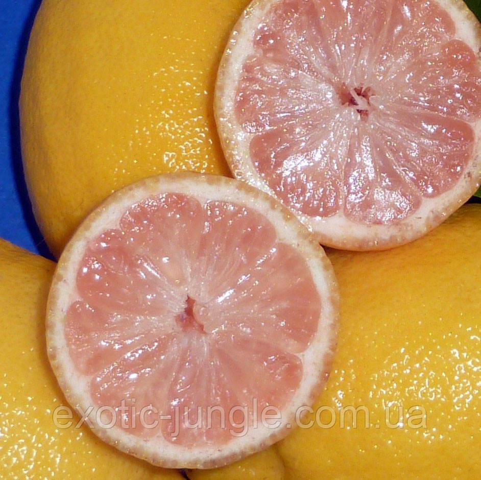 """Лимон розовый """"Сангвинеум"""" (C.limon """"Sanguineum"""") до 20 см. Комнатный"""