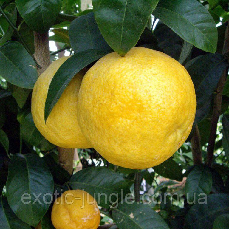 Лимон Волкамериана (Citrus volkameriana) до 20 см. Комнатный