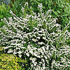 Спирея ниппонская Сноумаунд (Spiraea nipponica Snowmound), фото 2