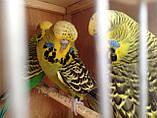 Выставочный волнистый попугай ЧЕХ., фото 3