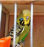 Выставочный волнистый попугай ЧЕХ., фото 5