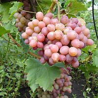 Виноград Ливия