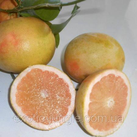 "Помело Россо ди Сарцана (C. grandis ""rosso di Sarzana"") до 20 см. Комнатный"