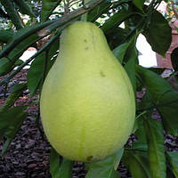 "Памело Пириформис (C. grandis x C. paradisi ""Piriforme"") до 20 см. Комнатный"