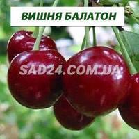 Саженцы вишни Балатон