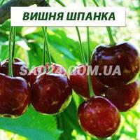 Саженцы вишни Шпанка