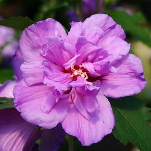 Саджанці Гібіскуса сирійського Арденс (Hibiscus syriacus Ardens)
