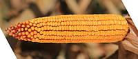 Кукурудза Гібрид 2370