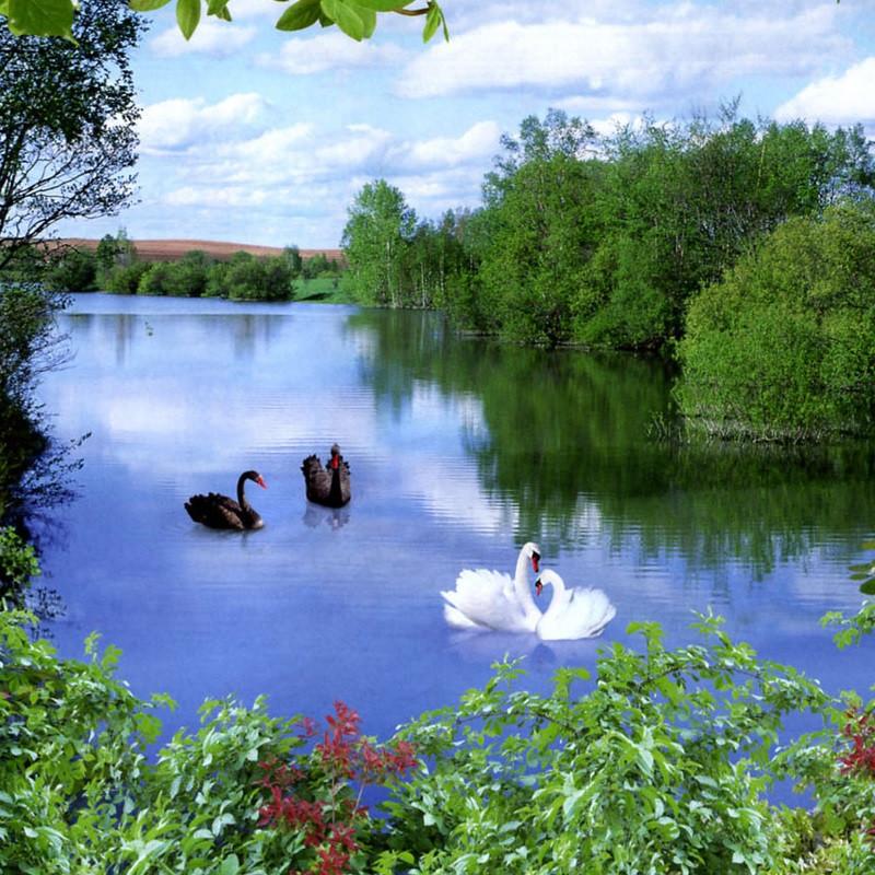 Фотообои, озеро, лебеди, лес,  Квартет, 8 листов, 134 x 194cm