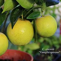 Лимон «Ванильный» (Citrus limon Vainiglia) до 20 см. Комнатный, фото 1