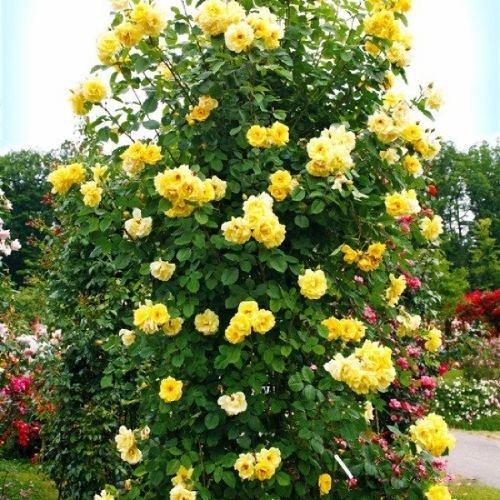 Саженцы плетистой розы Голден Гейт (Rose Golden Gate)