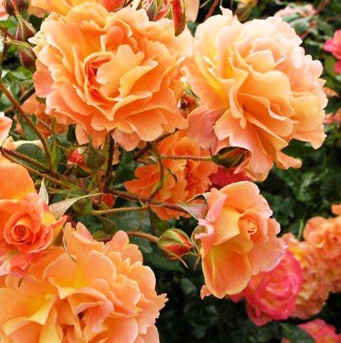 Саженцы чайно-гибридной розы Эйфория (Rose Euphoria)
