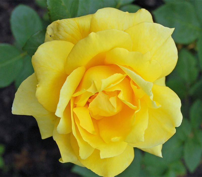 Саженцы роз сорт Санблест