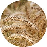 Насіння ярої пшениці