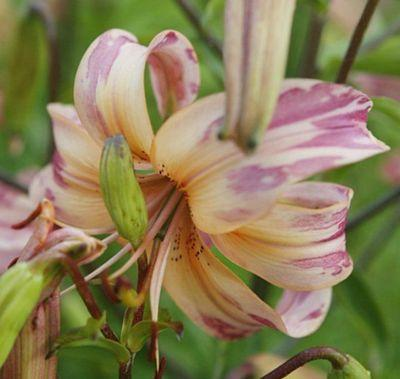 Болезнь лилии хлороз