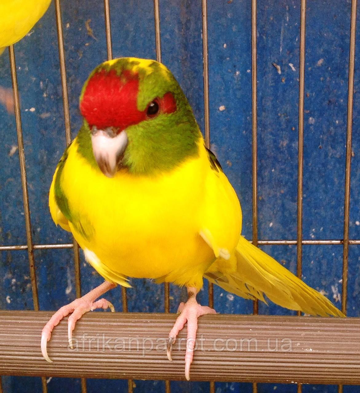 Папуги (Какарики) - домінантний строкатий.
