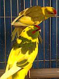 Папуги (Какарики) - домінантний строкатий., фото 2