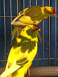 Попугаи (Какарики) - доминантный пестрый., фото 2
