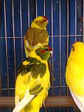 Папуги (Какарики) - домінантний строкатий., фото 3