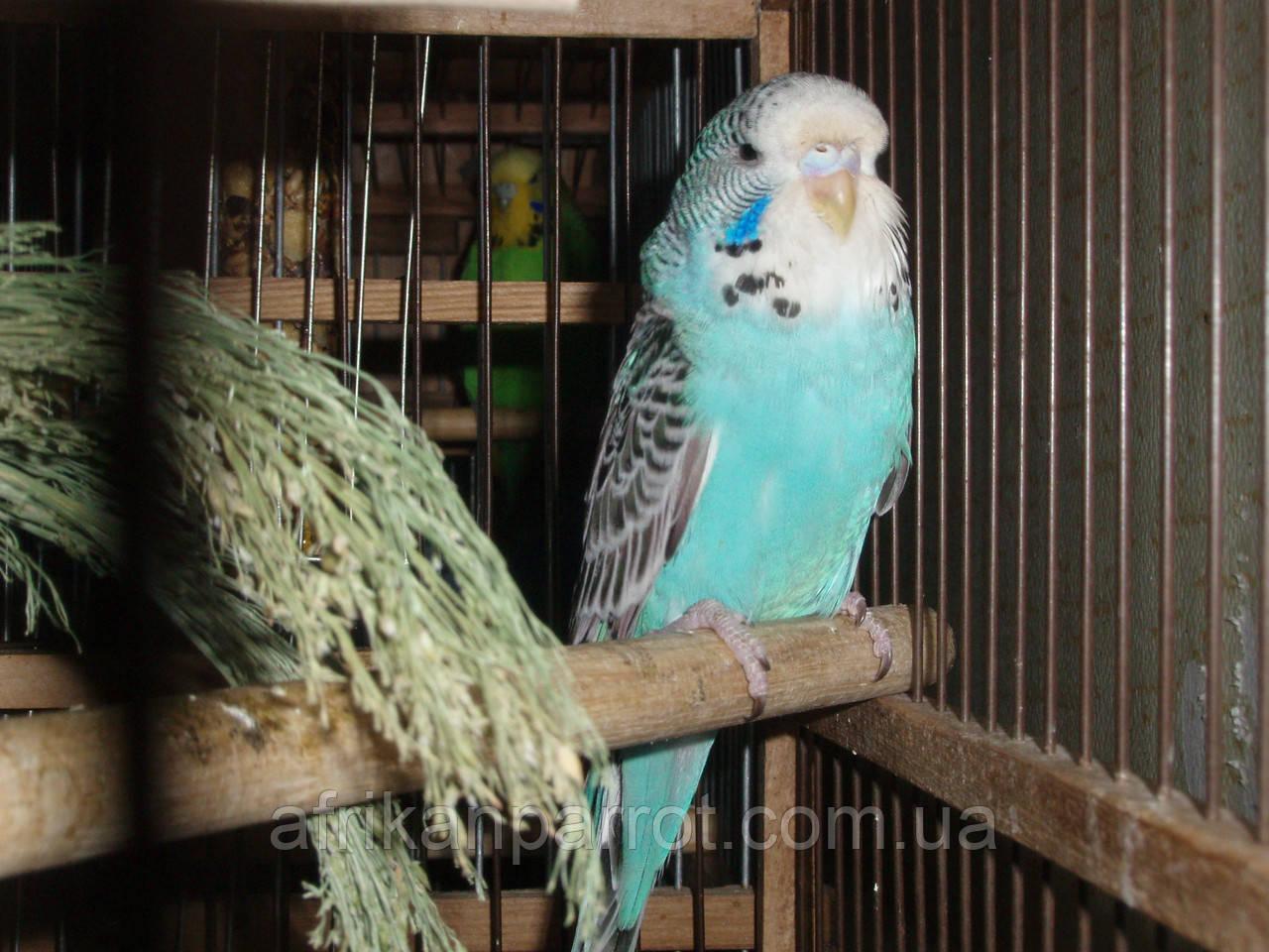 Хвилястий виставковий папуга (напів-чехи)