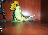Хвилястий виставковий папуга (напів-чехи), фото 2