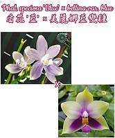 "Орхидеи, размер 2.5"" без цветов Сорт Phal. bellina var blue x Phal speciosa blue"