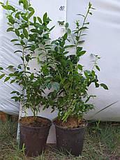 Легаси саженцы голубики 3хлетние (горшок 2л), фото 2