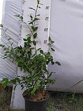 Легаси саженцы голубики 2хлетние в горшках 1.5л, фото 3