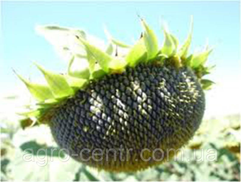 Семена подсолнуха Стронгер (STRONGER GS 35011)