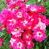 Роза Бордюрная Лиллан (Lillan)