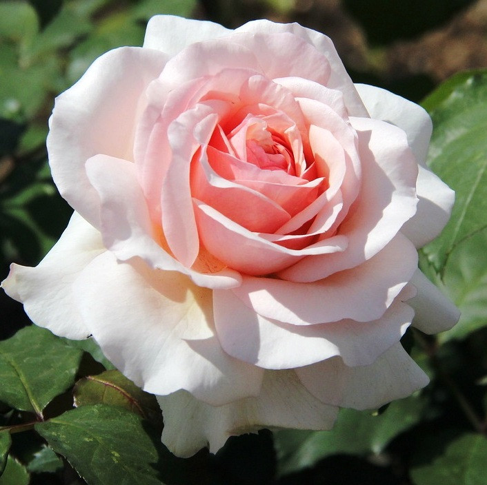 Саженцы чайно-гибридной розы Анна Павлова  (Rose Anna Pavlova)