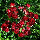 Саженцы розы спрей Блэк Джэк (Black Jack), фото 2